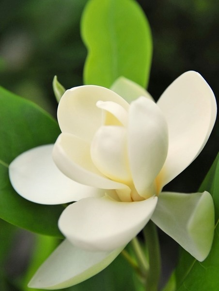 Magnolia Virginiana Sweetbay Magnolia Brandywine Trees
