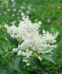 Syringa reticulata, 'Ivory Silk Lilac'