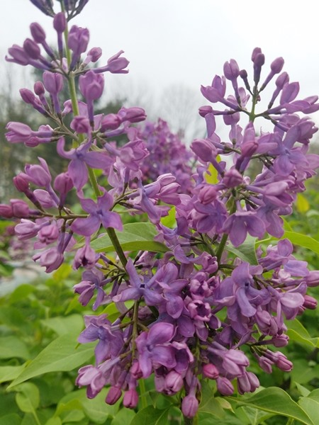 Syringa vulgaris, 'Tiny Dancer Lilac'