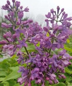 Syringa vulgaris, 'Tiny Dancer Lilac'