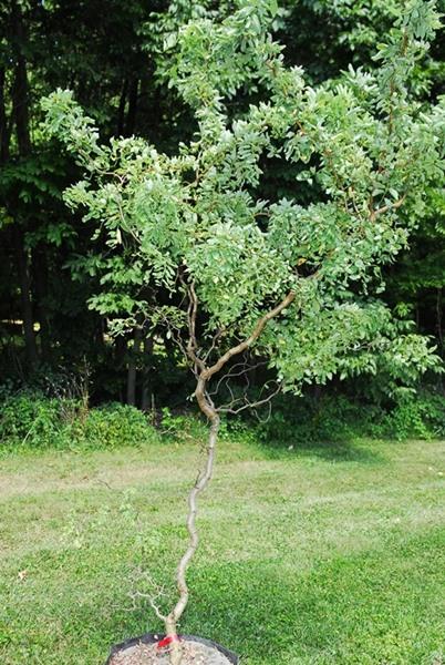 Robinia pseudoacacia, 'Twisty Baby'