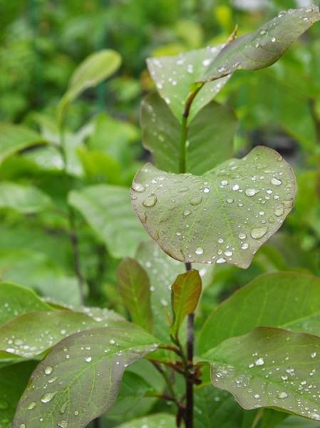 Magnolia denudata, 'Yulan Magnolia'
