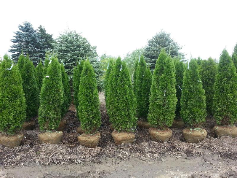 Thuja occidentalis 'Emerald Green Arborvitae'