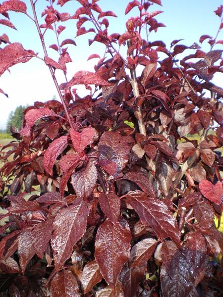 Prunus Cerasifera Krauters Vesuvius Purple Leaf Plum
