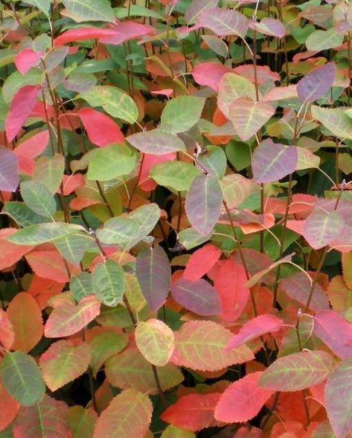 amelanchier autumn brilliance