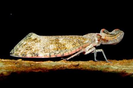 Cobra-cigarra ou jequitiranaboia (Fulgora sp.) – Foto: Fábio Paschoal