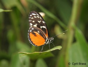 Orange-and-Black-Butterfly,   Heliconius Hecale Zuleika