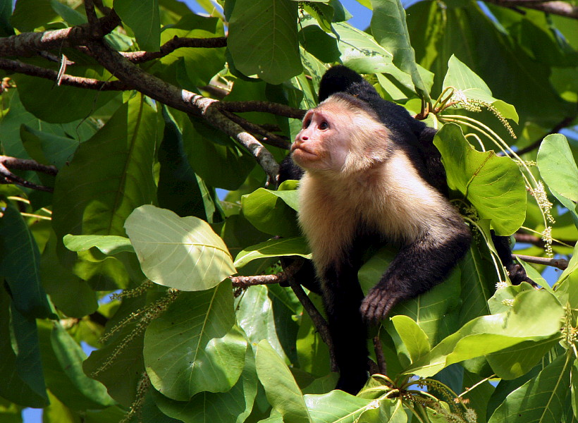 White Faced Capuchin Monkey photographed in Costa Rica