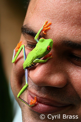 Red Eyed Tree Frog climbing on a Man's face in Costa Rica