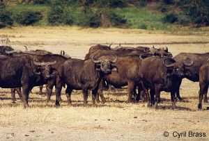 African-Cape-Buffalo-01.jpg