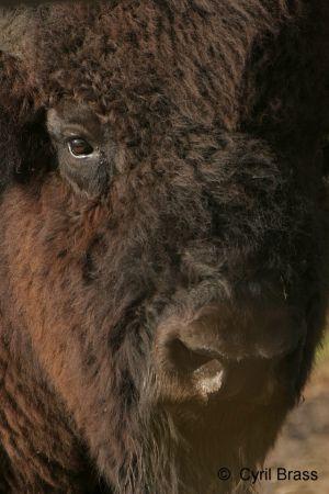 Buffalo-Head-shot.jpg