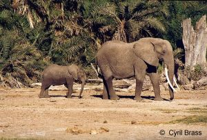 Elephant-Mother-with-Baby-Following.jpg