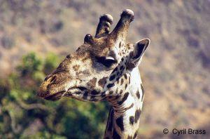 Giraffe-Head-05.jpg