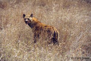 Hyena-01.jpg