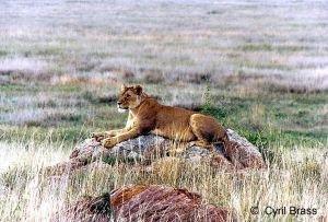 Lion-sitting-on-Rock-04.jpg