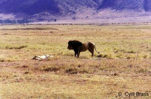 Male-African-Lion-01.jpg