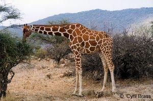 Reticulated-Giraffe-02.jpg