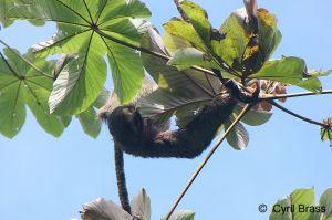 Sloth-in-Tree-351.jpg