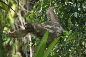 Sloth-in-Trees-389.jpg