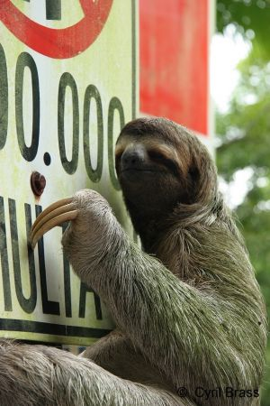 Sloth-on-Traffic-Sign-005.jpg
