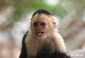 White-Faced-Capuchin-Monkey-1359.jpg