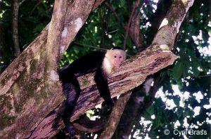 White-Faced-Capuchin-Monkey-17.jpg