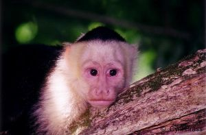 White-Faced-Capuchin-Monkey-219.jpg
