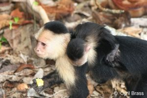 White-Faced-Capuchin-Monkey-with-Baby-1314.jpg