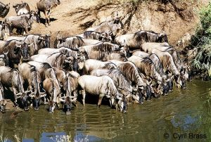 Wildebeest-Drinking-along-River-01.jpg