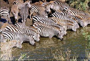Zebra-Drinking-along-River.jpg