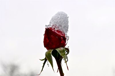 Icekiss of rose