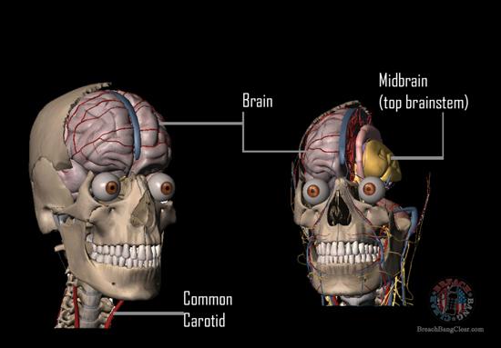 Ammo stopping power vs anatomy Cowan Breach Bang Clear skull vitals 1