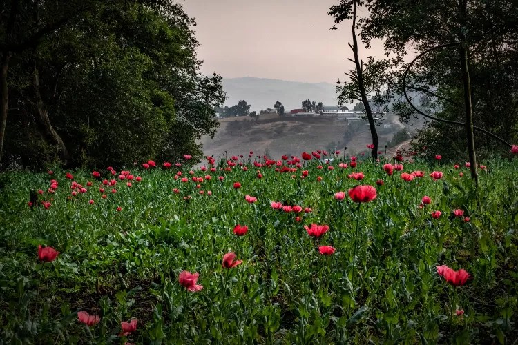 Border report. Cartels own the dispensaries. A Mexican poppy field.