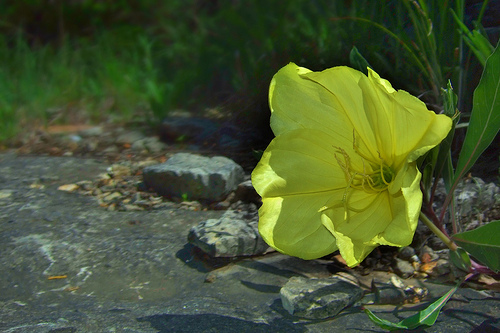 Missouri Primrose. Copyright © 2011 Gary Allman, all rights reserved.
