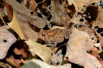 Toad on the Silver Trail at Busiek State Forest and Wildlife Area. Copyright © 2012 Gary Allman, all rights reserved.