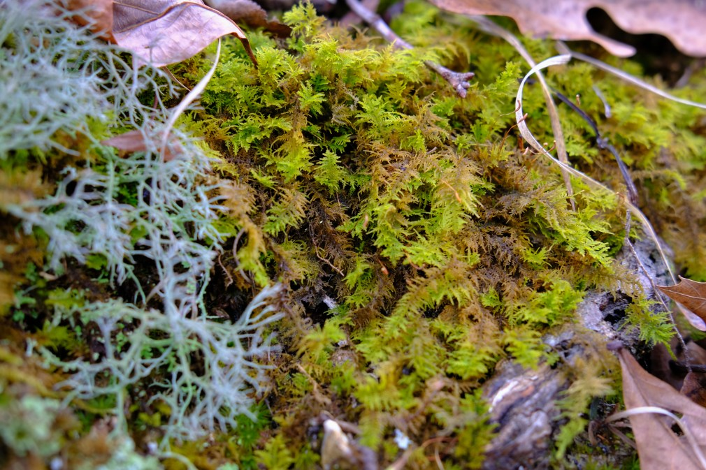 Trail-side moss. Copyright © 2018 Gary Allman, all rights reserved.