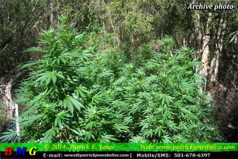 Marijuana plants (Archive photo)