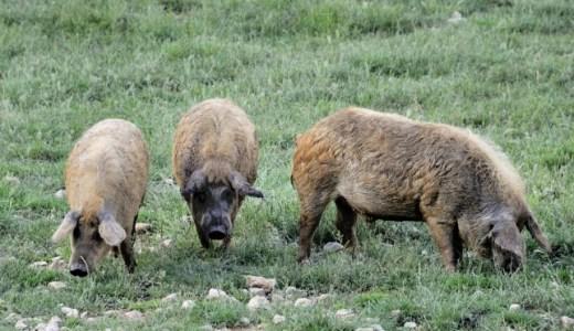 【悲報】行方不明の農夫がブタに食べられる事件が発生