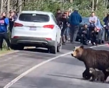 Road Comes To A Complete Stop To Let Mama Grizzly Bear And Cubs Cross