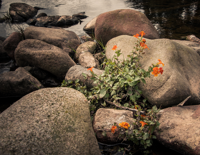 mimulus at Peggy Bell's Bridge (3P8A4453)