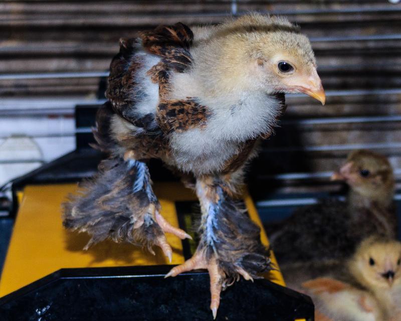 3-week-old Gold Partridge cockerel Brahma