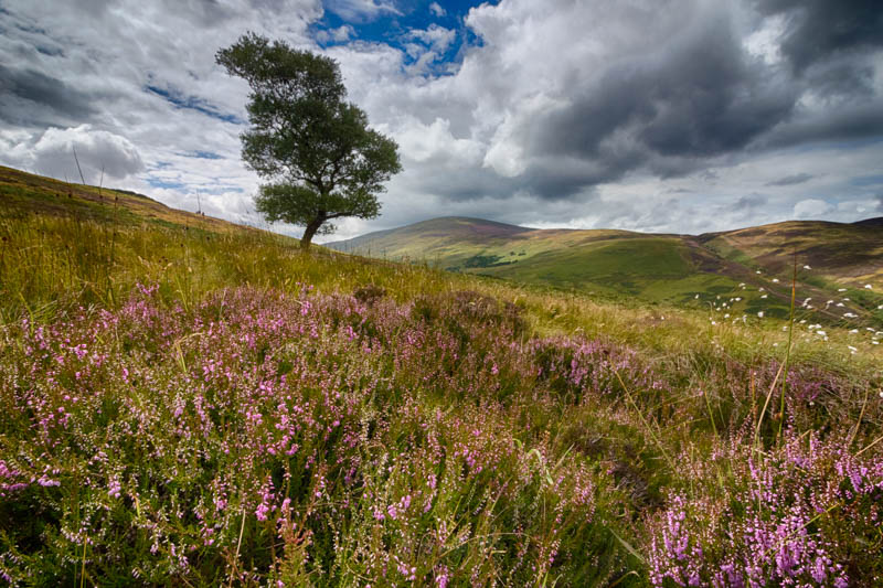 Blooming heather and solitary tree