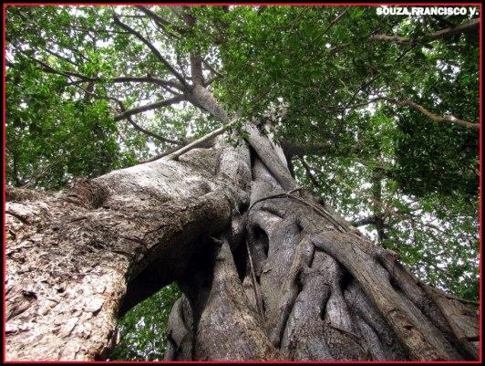 gameleira (Ficus catappifolia) mata estrela