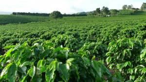 Coffee plantation Breedcafs