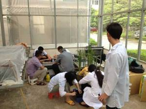 Acclimatization of vitroplants in the AGI greenhouse in Hanoi Breedcafs eu funded project