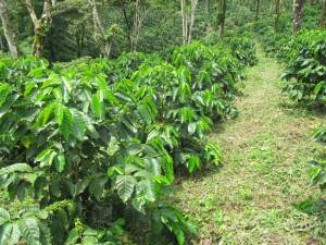 F1-HYBRIDS in a coffee farm in Nicaragua Breedcafs eu funded project