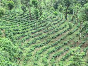 Coffe farm AFS cluster business driven Breedcafs EU funded project