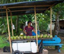 Costa Rica - Tortuguero Nationalpark - Kokosnuss