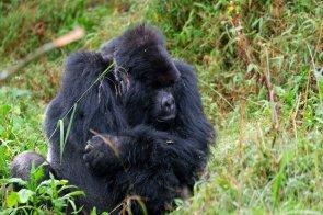 Uganda-Gorillas-Breitengrad53-Reiseblog-Jutta-Lemcke-SCF6068_korr1