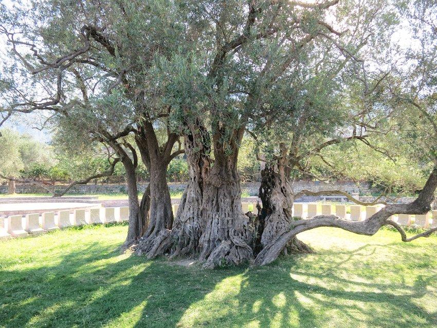 Sehenswert - ein 2000 Jahre alter Olivenbaum
